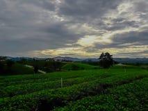 Acres de plantations de thé photo libre de droits