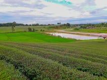 Acres de plantations de thé image libre de droits