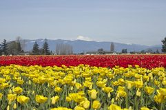 Acres et acres de tulipes photographie stock