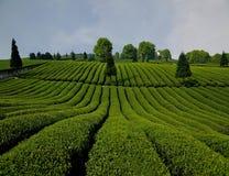 Acres of green shoots fragrance Stock Photos
