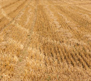 Acres after harvest are looking golden Royalty Free Stock Image