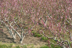Acres planted cherry blossoms . Stock Image