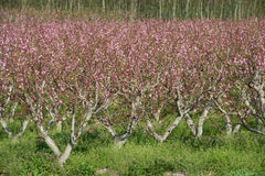 Acres planted cherry blossoms . Stock Photography