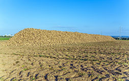 Acres with sugar beets after harvest in golden light Stock Photos