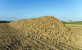 Acres with sugar beets after harvest Stock Photo