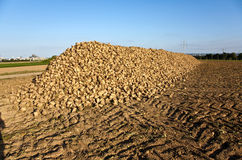 Acres with sugar beets Royalty Free Stock Images
