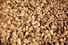 Acres with sugar beets Stock Images