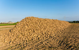 Acres with sugar beets after Stock Photos
