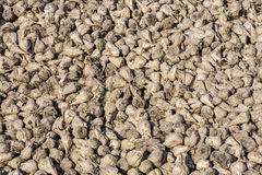 Acres with sugar beets after harvest Stock Image
