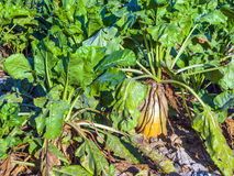 Acres with sugar beets after harvest Royalty Free Stock Photo