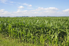 Acres of Summer Maize Stock Image
