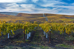 Acres of vines in California. Landscape of vines stretching to the horizon in the Los Carneros wine region, Napa, California, United States Stock Photos