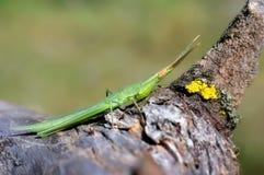 Acridaungarica van het insect Royalty-vrije Stock Afbeeldingen