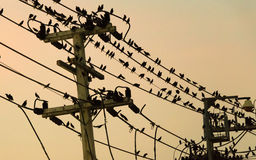 acridotheres садить на насест на линиях электропередач Стоковая Фотография RF