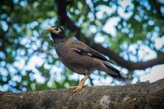 Acridotheres. Bird tristis nature  animal wild wildlife  thailand black wing beautiful closeup yellow Stock Photography