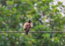 Acridotheres, de krachtige vogel van Azi? stock foto's