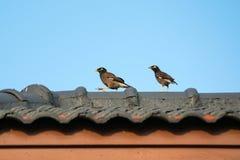 Acridotheres gehockt auf dem Dach Stockfotografie