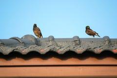 Acridotheres gehockt auf dem Dach Lizenzfreie Stockfotografie