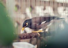 Acridotheres maina Vogel im Käfig im Freien Lizenzfreies Stockbild