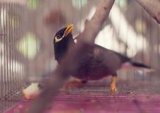 Acridotheres maina Vogel im Käfig im Freien Lizenzfreie Stockfotografie