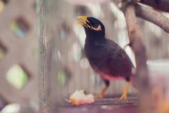 Acridotheres maina Vogel im Käfig im Freien Lizenzfreie Stockbilder