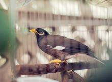 Acridotheres maina Vogel im Käfig im Freien Stockfoto