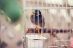 Acridotheres maina Vogel im Käfig im Freien Stockfotos