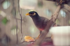Acridotheres maina Vogel im Käfig im Freien Stockbilder