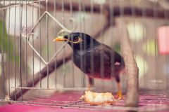 Acridotheres maina Vogel im Käfig im Freien Lizenzfreies Stockfoto