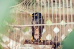 Acridotheres maina Vogel im Käfig im Freien Stockbild