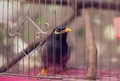 Acridotheres maina Vogel im Käfig im Freien Stockfotografie
