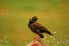 Acridotheres; mynas Royalty Free Stock Images