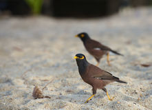 Acridotheres ptaki na plażowym piasku zdjęcia stock