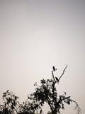 Acridotheres-Schwarzes gehockt auf dem Treetop Lizenzfreie Stockfotografie