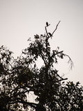 Acridotheres-Schwarzes gehockt auf dem Treetop Stockbild