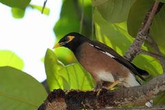 Acridotheres tristis Royalty Free Stock Photography
