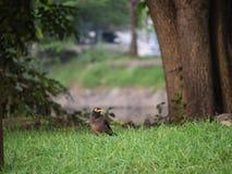 Acridotheres-Vogel auf dem Rasen Stockfotografie
