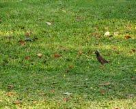 Acridotheresfågel Arkivbilder