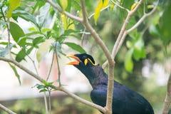 Acridotheresvogel Lizenzfreies Stockbild