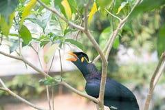 Acridotheresvogel Lizenzfreie Stockbilder