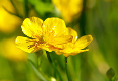 Acris de Ranunculus Images libres de droits