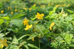 Acris del ranunculus Il ranuncolo della pianta è caustico Cecità notturna del fiore fotografia stock