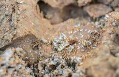 Acro сняло термита и термитов ферзя в отверстии Ферзи термита имеют самую длинную продолжительность жизни любого насекомого в мир стоковое фото rf