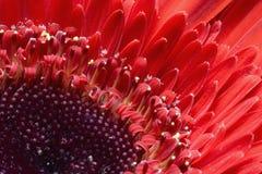 acro pięknego inkasowego kwiecistego kwiatu gerber makro- fotografii kolor żółty Obrazy Stock