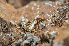 Acro Shot of the queen termite and termites in a hole. Termite queens have the longest lifespan of any insect in the world, s. Acro Shot of the queen termite and royalty free stock images