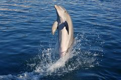 Acrobacy de dauphin pendant l'exposition de dauphins dans les Caraïbe Photographie stock