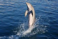 Acrobacy do golfinho durante a mostra dos golfinhos nas Caraíbas Fotografia de Stock