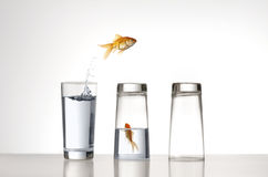 Acrobat. A Goldfish jumping over a couple of glasses Royalty Free Stock Images