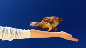 Acrobat Chicken Walking on Spread Arm (16:9 Aspect Ratio) Stock Photo