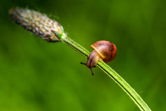 Acrobat. Snail on the green plant. Macro photography of nature Royalty Free Stock Image